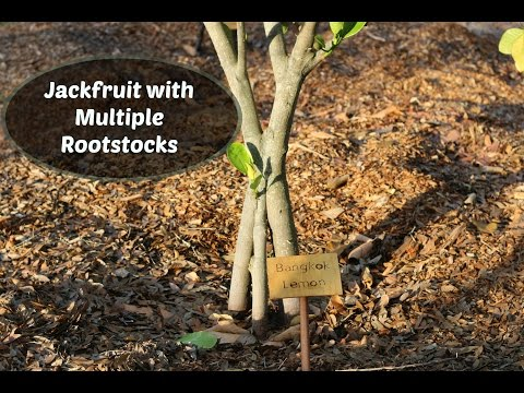 Jackfruit Tree with Multiple Rootstocks - Inarch grafts