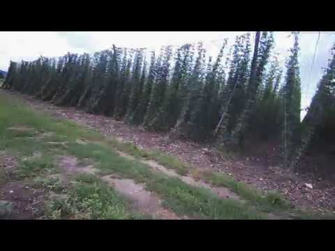 Hop growing all year cycle