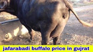💰FOR SALE💰 jafarabadi Buffalo vi batwa te manwadar de