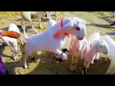 Cute Beauties for SALE   Pure Rajanpuri Goats for SALE in DG Khan for Bakra Eid - Eid ul Adha 2018