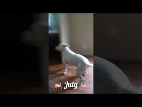 !!!!Happy pitbull!!!!