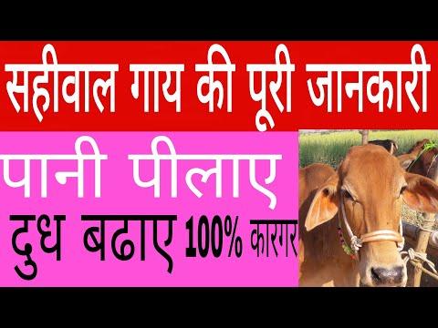 सहीवाल गाय  की पुरी जानकारी /sahi wal cow benifit in hindi