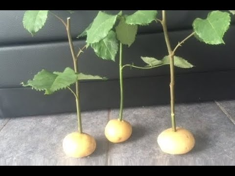 How To Grow Rose Cuttings In Potatoes