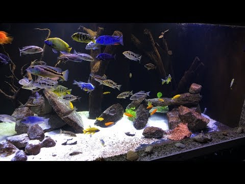 500 Gallon In-Wall African Cichlid Tank