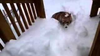 Corgi gets stuck in the snow!