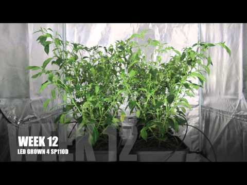 LED vs HID Grow Lights - The Chilli Battle week 12