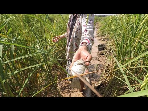 Draining the Rice Paddy and Catching Fish