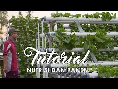 Sarjana Psikologi Jadi Tukang Sayur- Tutorial Nutrisi Hidroponik & Panen