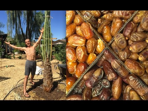 Fruiting Female DATE PALM TREES - Planting a Date Palm Food Forest in My Backyard Garden