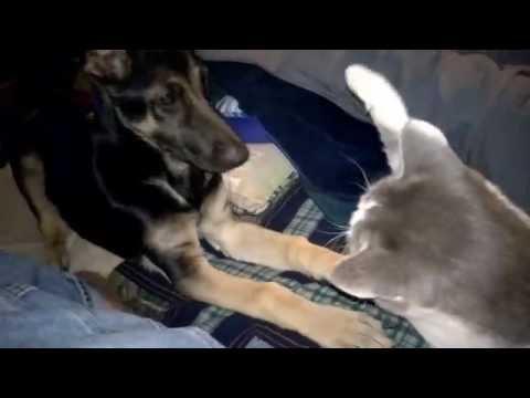 River The German Shepard and Boyfriend The Cat  Nov. 12, 2016