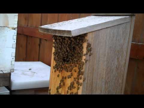 Africanized Killer Bees Dallas, Texas