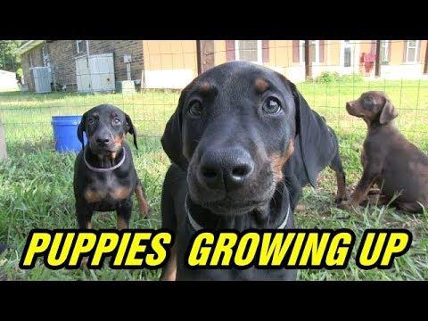 Doberman pinscher puppies growing to 8 weeks