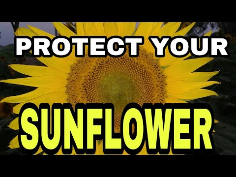 PROTECT YOUR SUNFLOWER FROM THE BIRDS