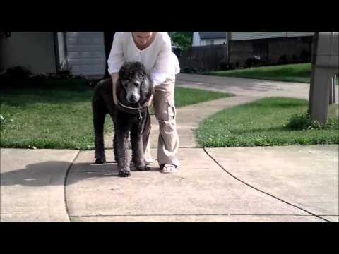 Tank (Standard Poodle) Training for Mobility