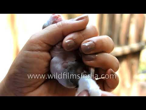 Cleaning a baby rabbit and helping it to pee