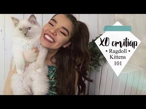 Everything To Know About Ragdoll Kittens | Ft. My Ragdolls Cat | xoemiliap