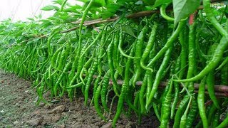WOW! Amazing Agriculture Technology - Sweet & Chili Peppers