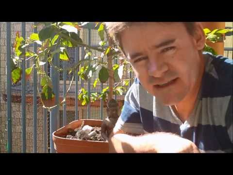 How to Prune and Train Your Dwarf Avocado Tree