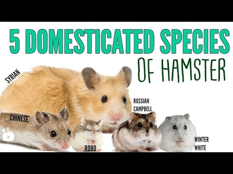 THE 5 DOMESTICATED HAMSTER SPECIES