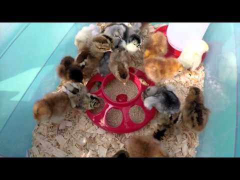 Our Meyer Hatchery Baby Chicks Have Arrived!