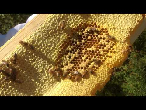 A Brood Nest from Chasing Honey Farms, Fleischmanns
