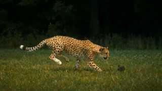 Cheetah - Super Slow Motion (HD)