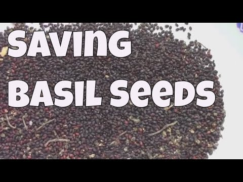 Saving Basil Seeds - How to Harvest, Separate, and Clean Them.