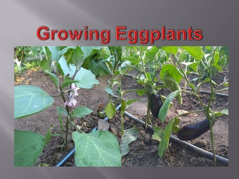 Growing eggplants from seedlings at home. Easy.