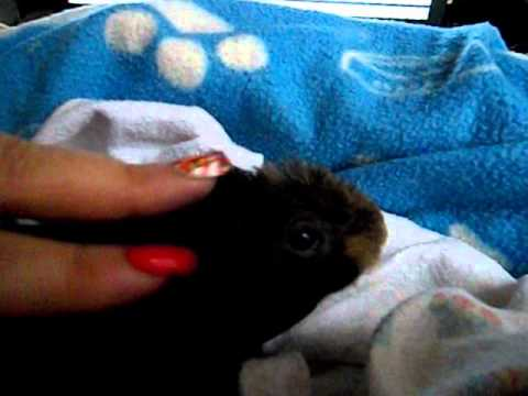 How i  wound up with a Skinny Pig :)