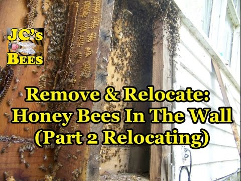 Honey bee removal/ Cutout follow up Part 2