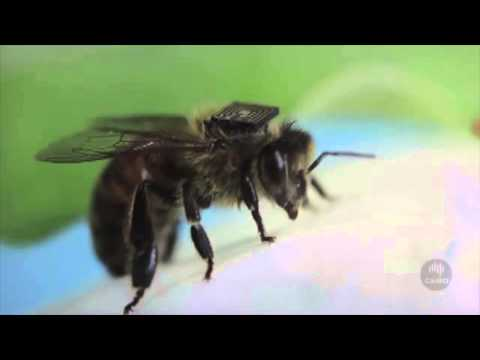 Microchipped Bees May Help Save The Planet