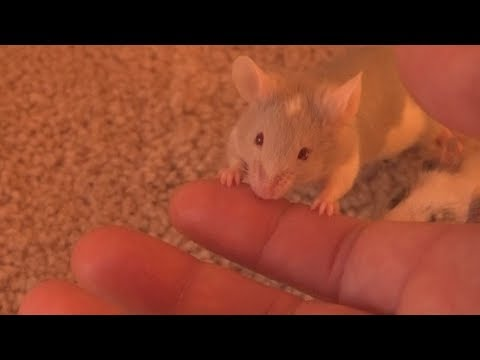 The Nibbly Phase, when young mice 'bite'