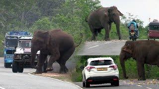Big wild elephant waiting for food at the Kataragama road !