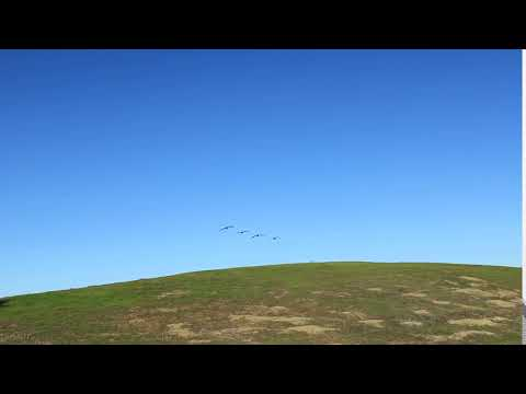 Canadian geese flying low