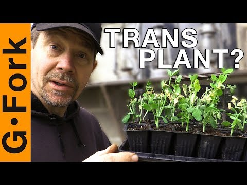 Can You Transplant Peas? Let's See