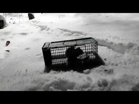 Squirrel Release From A Live Trap In Edmonton Alberta Canada