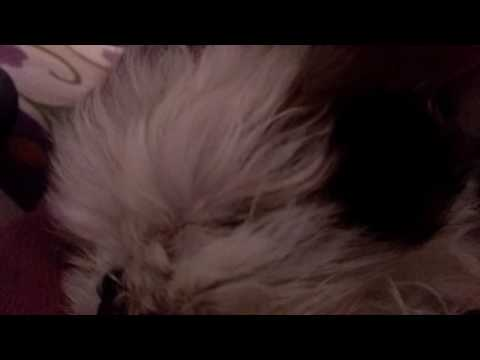 Eye cleaning in Shih tzu dogs