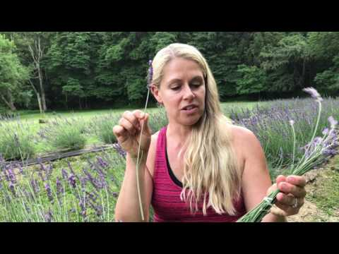 How to cut lavender