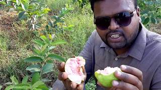 Best Cultivation Process Of Guava   జామ ఉత్తమ