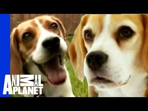 Beagle | Dogs 101