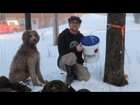 Checking Our Maple Syrup Taps ~ Homestead Update