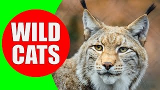 Wild Cats - Felidae and Panterinae - Wild Cat Sounds for Children to Learn