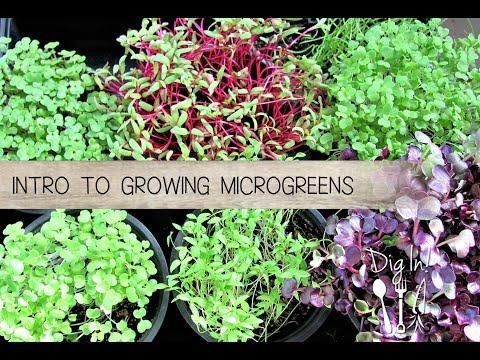 Introduction to Growing Microgreens – The Micro Gardener