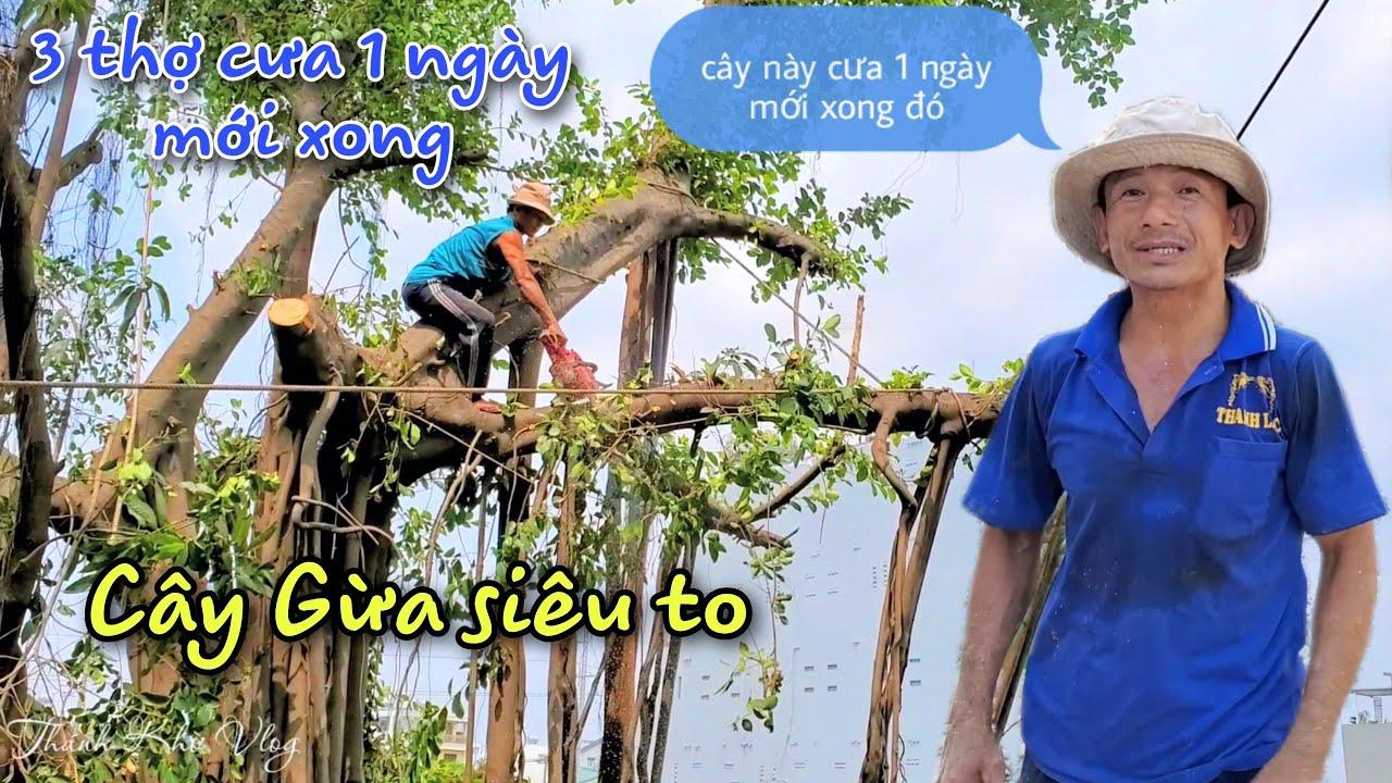 Gian nan hành trình cưa cây Gừa siêu to của Vua Khỉ Miền Tây (phần cuối)
