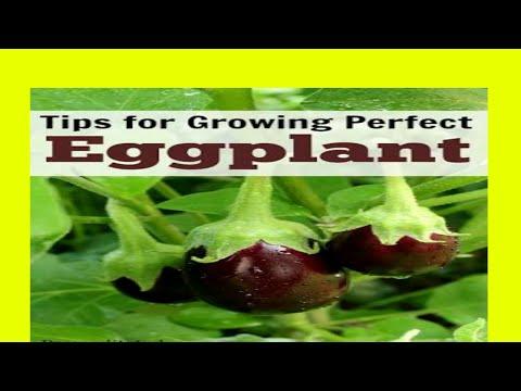 Baingan ugane ke kuchh aasan tips || how to grow eggplant care and tips