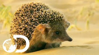 Cute But Vicious Hedgehog Attacks A Deadly Viper   Wildest Middle East