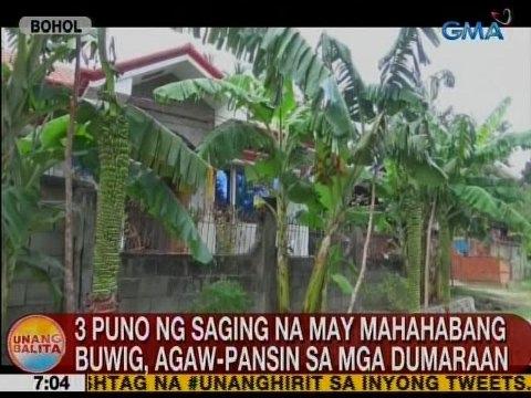 UB: 3 puno ng saging na may mahahabang buwig, agaw-pansin sa mga dumaraan sa Bohol
