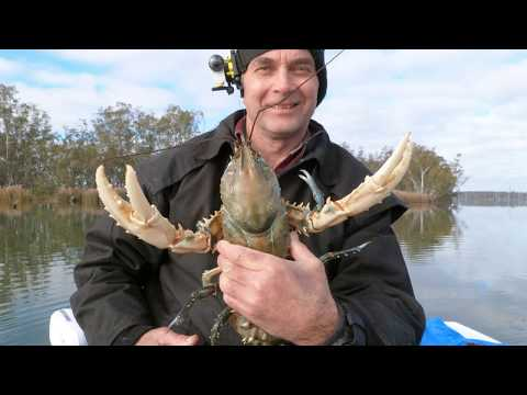 Catching Big Murray River Crayfish, Freshwater Crayfish, Euastacus armatus, Australian inland rivers