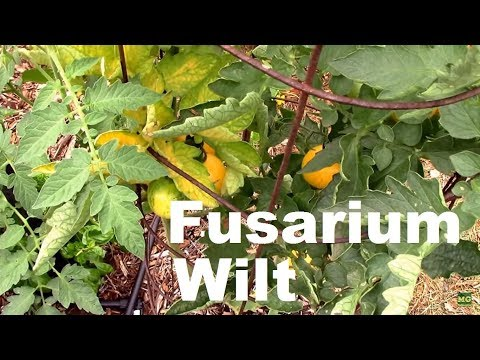 Fusarium Wilt on Tomatoes. How I Handled it, and One Tip.