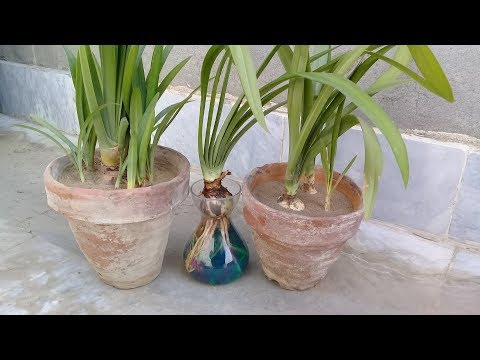 How to grow flowering bulbs